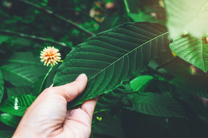 Is Kratom Safe To Use? Can We Give It To Kids?